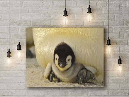 Baby Penguin. Photographic Canvas.